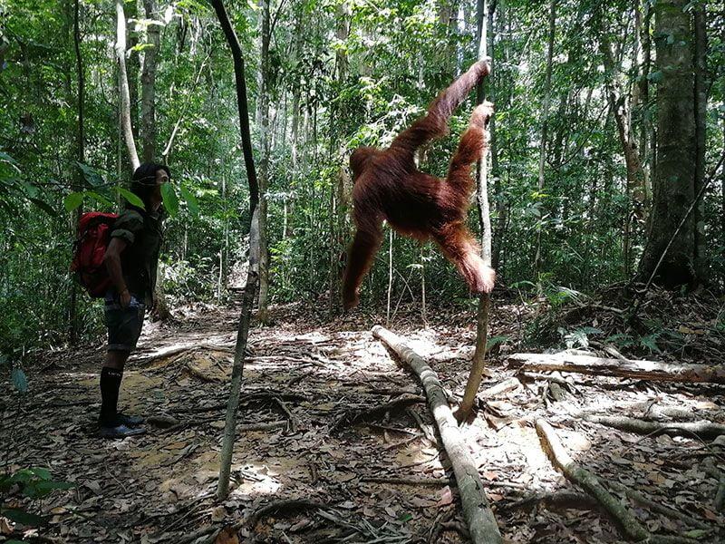 orangutanes en la isla de sumatra