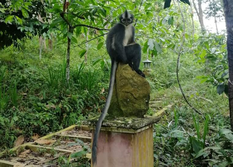 Mono de la hoja de Thomas en Sumatra