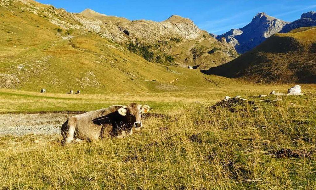 vacas en el camino a la mesa de los 3 reyes