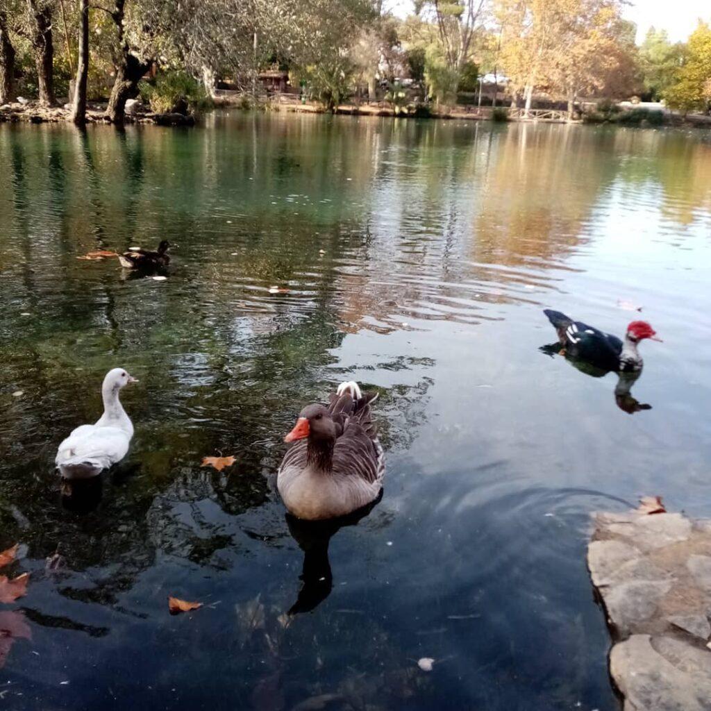 patos lago de anna